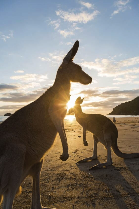 Cape Hillsborough kangaroos casuarina beach qld sunrise