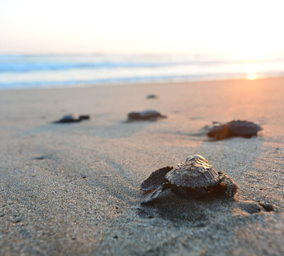 Turtles hatchling sand sunrise Mon Repos Bundaberg Qld
